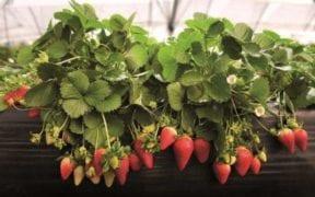 fitosanitarios