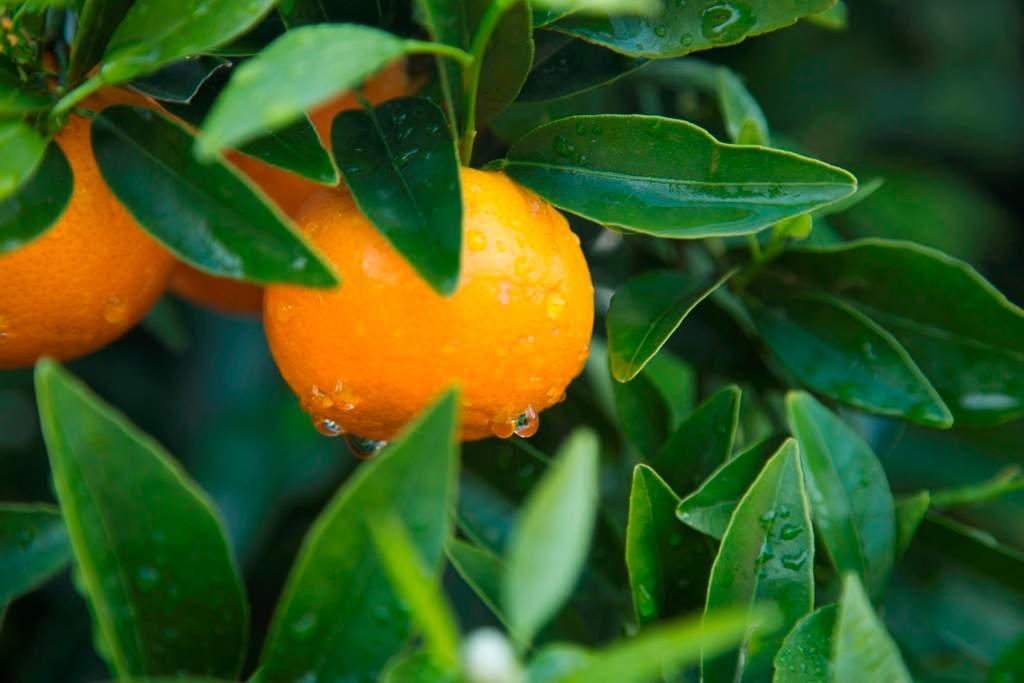 La mandarina orri la mejor cotizada del mercado - La mejor campana extractora del mercado ...