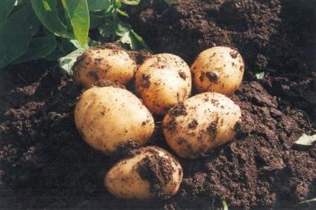 patata nueva