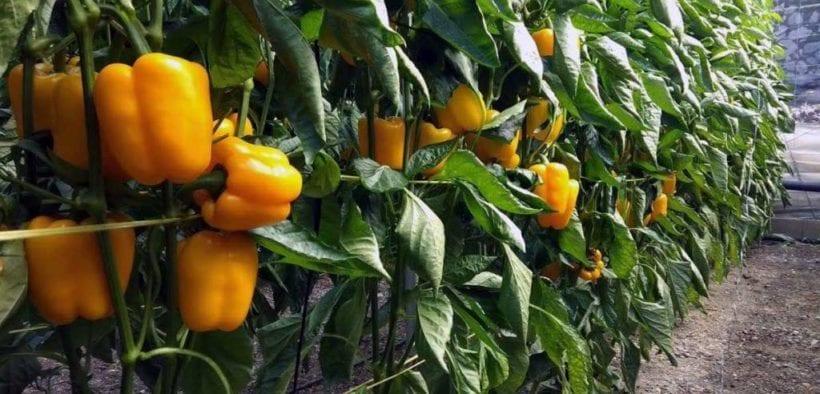 Agroponiente